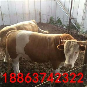 西门塔尔牛牛犊育肥养殖技术