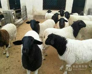 小尾寒羊养殖怎么样