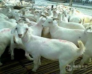 山西羊价格今日价
