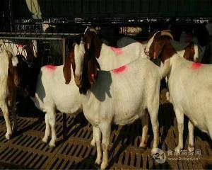 四川波尔山羊养殖基地