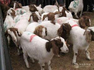 波尔山羊养殖场 波尔山羊图片 养羊场图片
