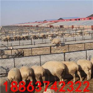 小尾寒羊多少钱一只 哪有养殖场