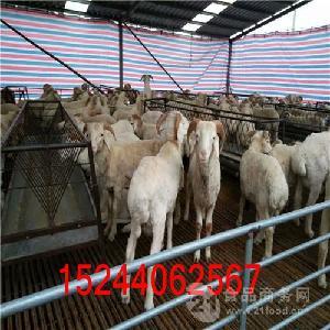 小尾寒羊种羊价格