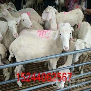 无角小尾寒羊种羊