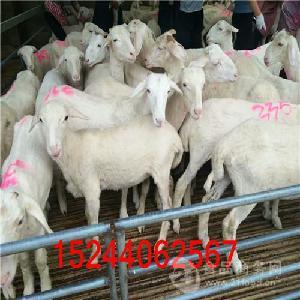 小尾寒羊品种介绍