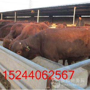 杂交牛育肥牛犊