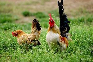 小元宝鸡鸡苗多少钱一只  元宝鸡苗价格