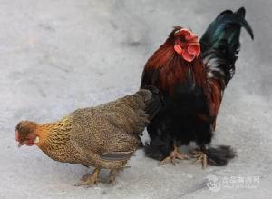元宝鸡苗价格 元宝鸡养殖视频