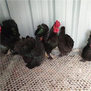 元宝鸡苗价格 活体双冠元宝鸡