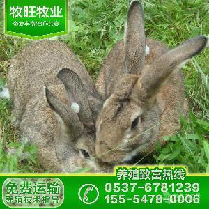 散养野兔野兔种苗价格