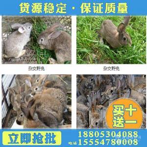 杂交野兔养殖加盟河北野兔养殖基地