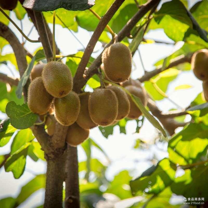 非红心奇异果新鲜水果 精品大果 正宗亚特弥猕猴桃