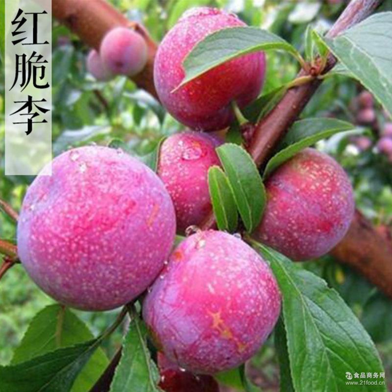 李子新鲜水果 源头货源产地直销批量供应 青脆李红脆李 阿坝特产