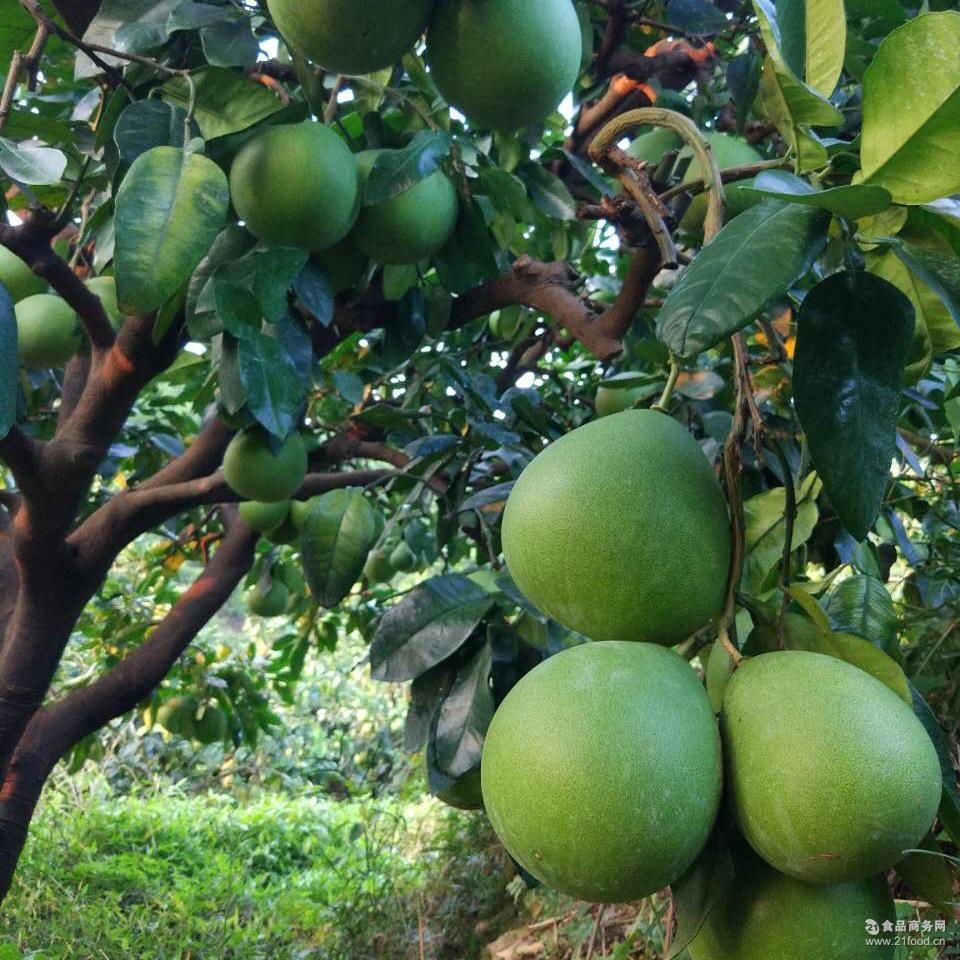 新鲜水果白柚 福建琯溪传统白柚平和音加农庄白心柚子老柚树