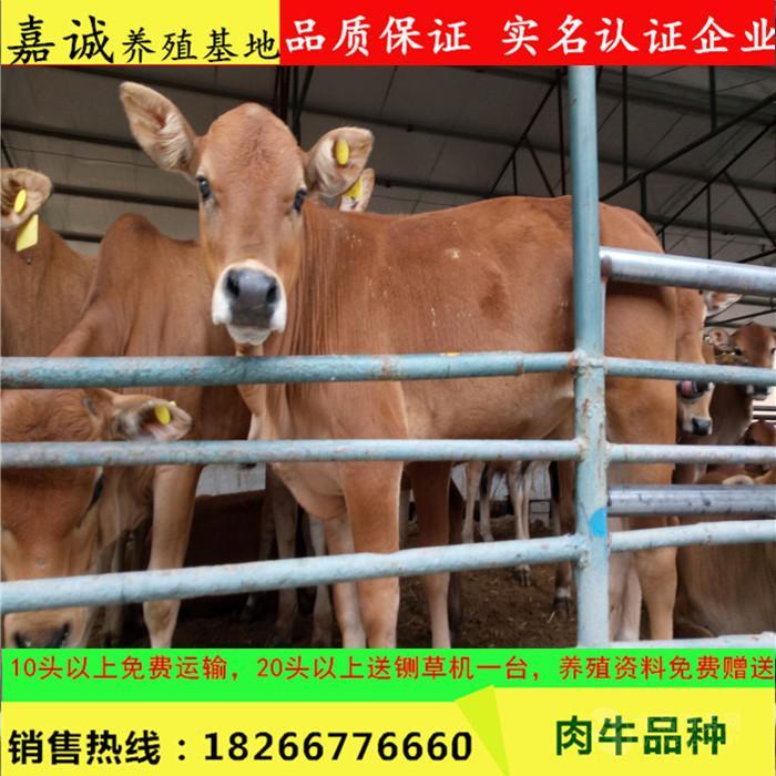 利木赞牛的养殖成本效益分析