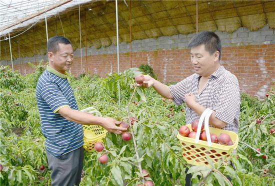 今日朝阳市油桃市场销售价格油桃批发价格报价