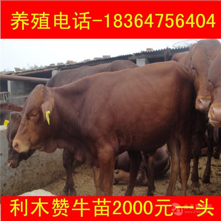 郑州夏洛莱牛成年牛多钱厂家直销