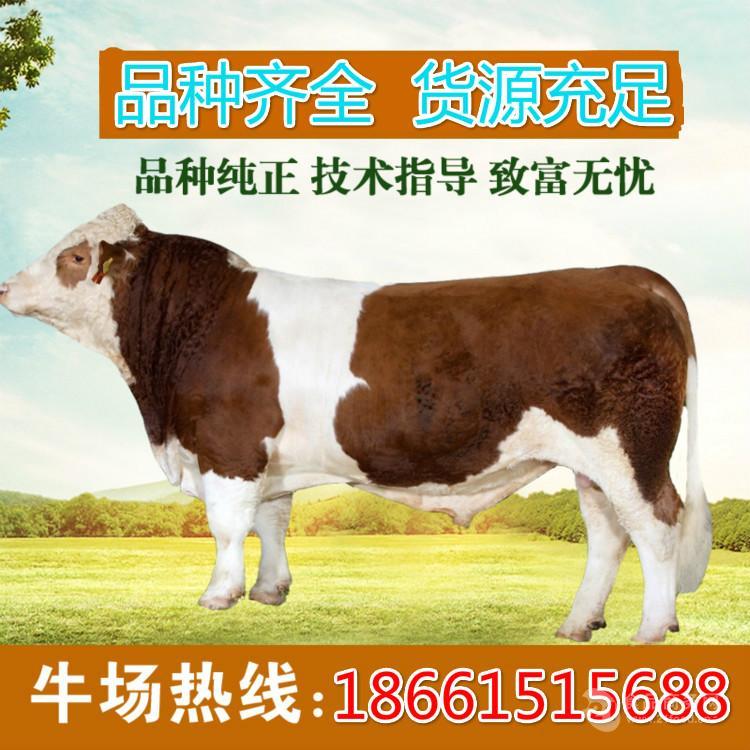 西门塔尔牛幼牛犊价格