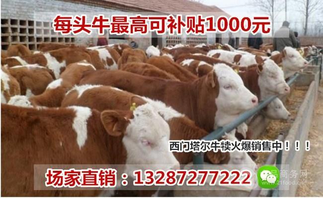 广东清远牛苗交易市场: