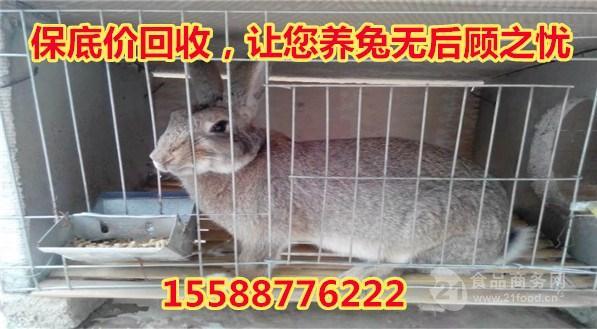 杂交野兔苗多少钱一只