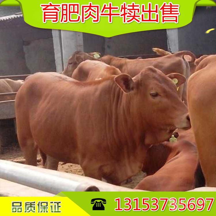 哪里卖小黄牛苗牛犊 的