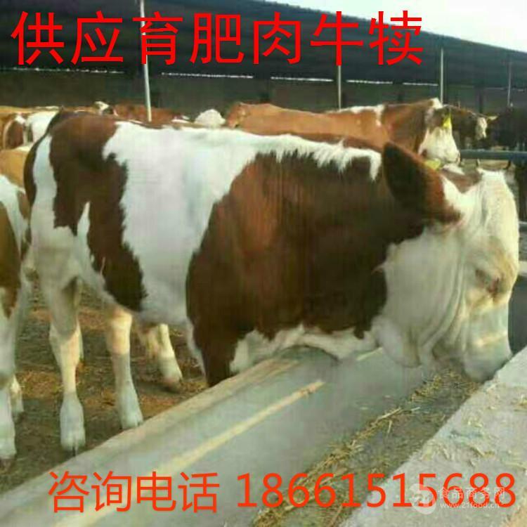 西门塔尔2个月小牛价格