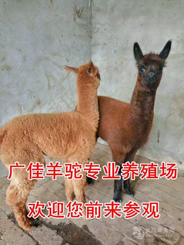 哪里有羊驼出售的品行好