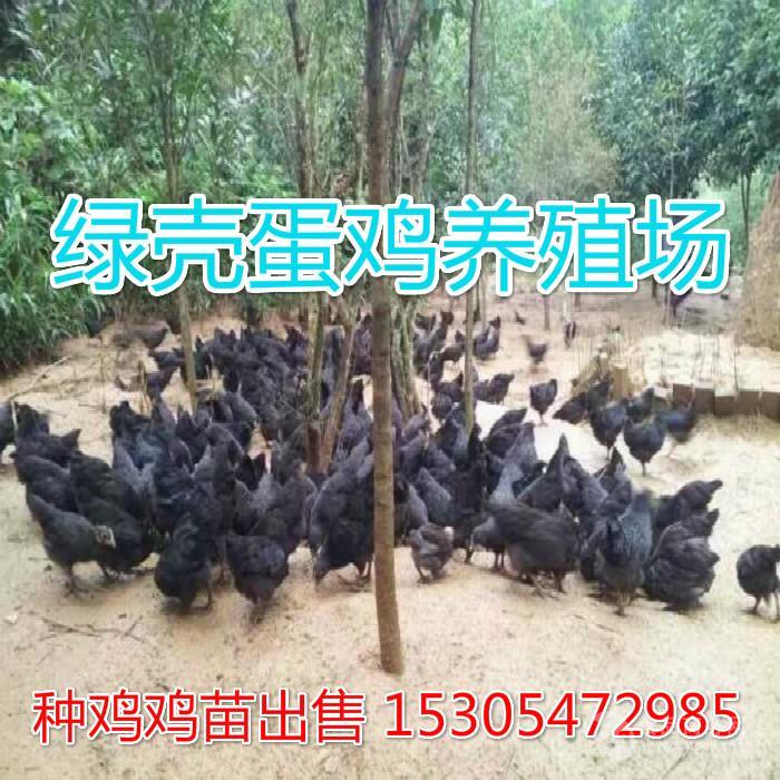 哪里有绿壳蛋鸡出售
