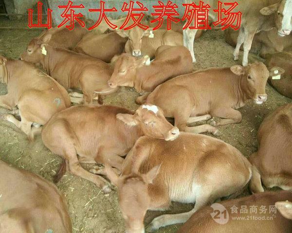山东哪里有养牛场