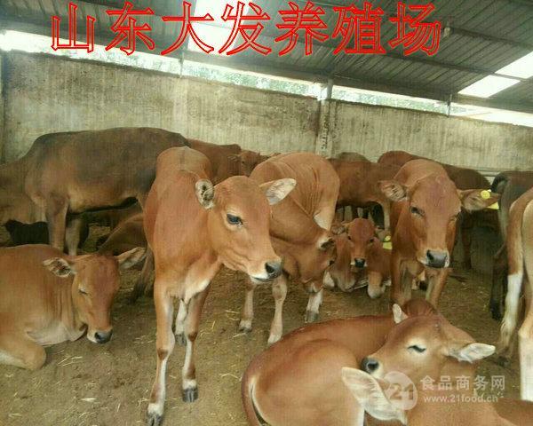鲁西黄牛养殖场