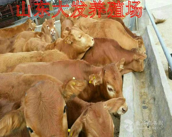 陕西省大型养牛厂