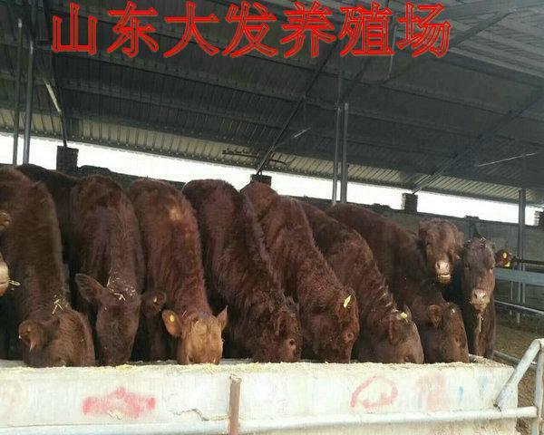 四川江油肉牛养殖基地