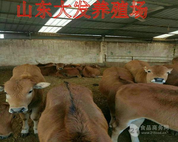 山东有养牛场吗