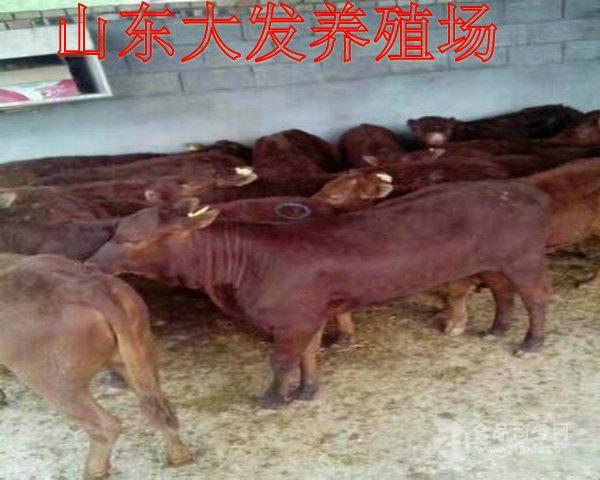 鲁西黄牛牛犊价格