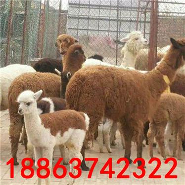 羊驼出售 养殖场出售各种观赏动物