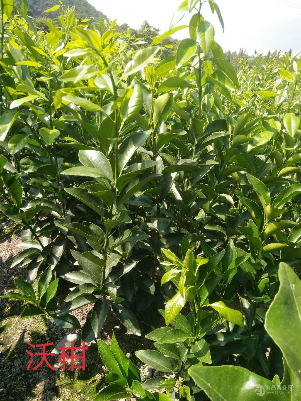 象山柑橘苗无核沃柑橘苗种植批发