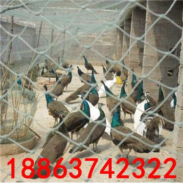 孔雀苗价格 成年孔雀多少钱一只
