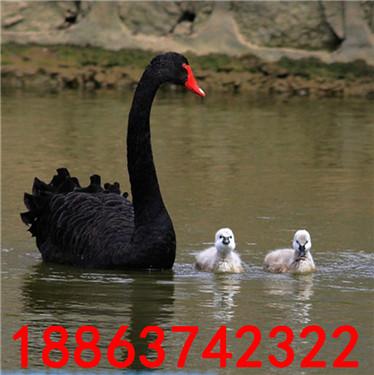 养殖场黑天鹅苗价格
