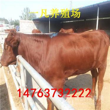 山东济宁200斤的黄牛犊多少钱一头