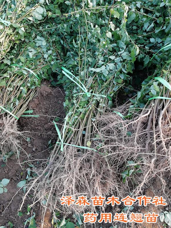 连翘苗介绍种植~连翘苗产地苗圃格
