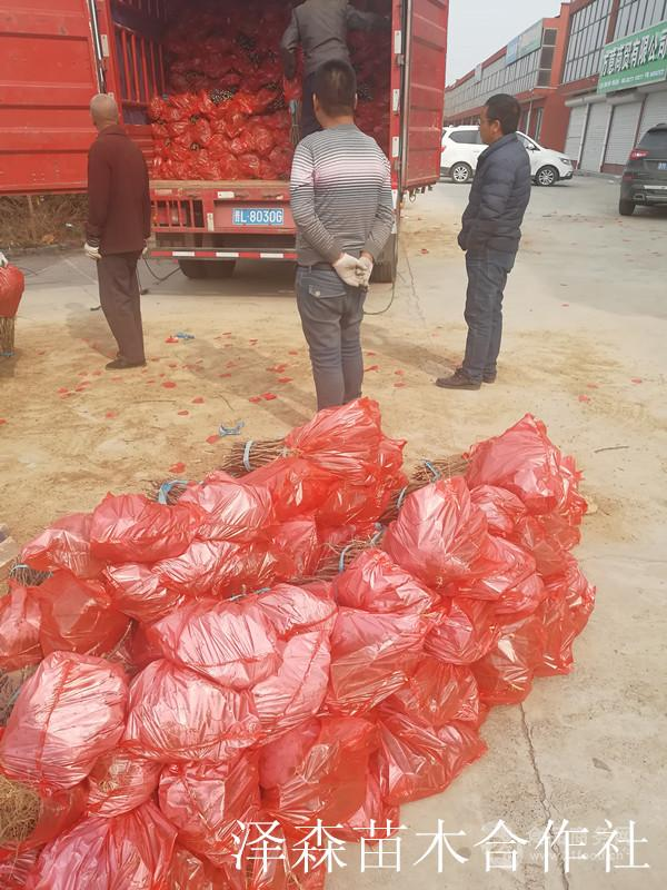 大红袍花椒苗~地径0.6公分花椒苗格