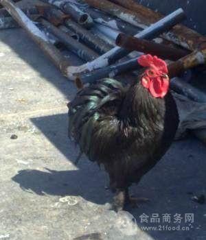 批发元宝鸡蛋价格 元宝鸡种蛋 出售毛脚元宝鸡