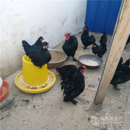 宝鸡种蛋 元宝鸡苗 出售纯种元宝鸡
