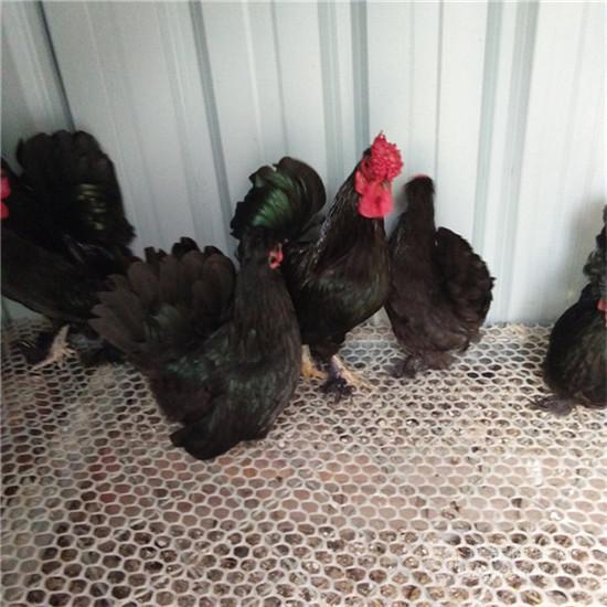 低价出售元宝鸡鸡苗 供应元宝鸡鸡蛋价格优惠
