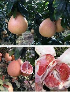 三红蜜柚苗|三红蜜柚果树苗培育地点/出售