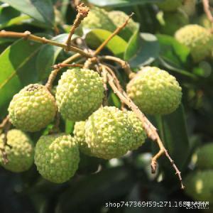 广西玉林荔枝预售 新鲜荔枝预售 待收荔枝等广西水果特产