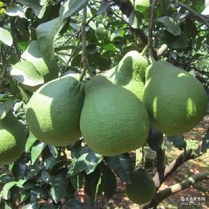 6個贛南南康甜柚齋婆柚正宗沙田柚子水果白心江西土特產文旦柚子