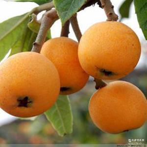 新品预售四川仁寿文宫枇杷3斤包邮新鲜水果非蒙自攀枝花米易枇杷