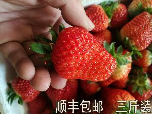 99奶油草莓十九草莓現摘冬季水果3斤裝 農家自種久久新鮮草莓