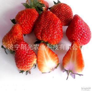 歡迎來電咨詢 質優價廉 專業供應新鮮優質出口草莓